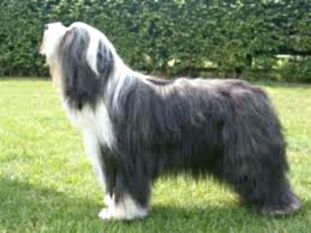 Bearded Collie Includes Training T Socializing Care Grooming Breeding And More Co Uk Paul Kelly